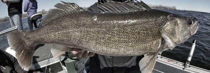 Fishing Guide Green Bay WI Walleye